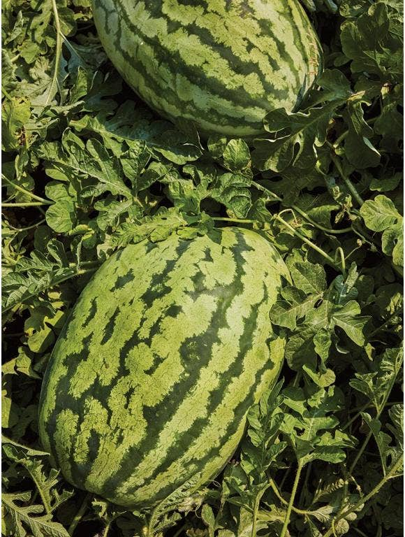 All About Watermelons