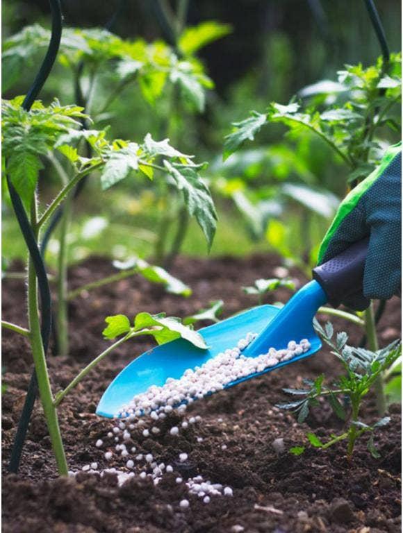 Gardener applying granulated fertilizer around the base of vegetable plants using a trowel.