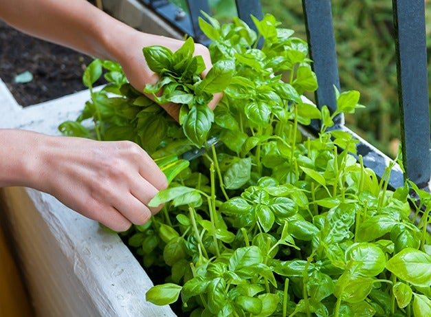Herb Seeds And Plants Organic