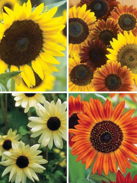 All Summer Sunflower Cutting Garden