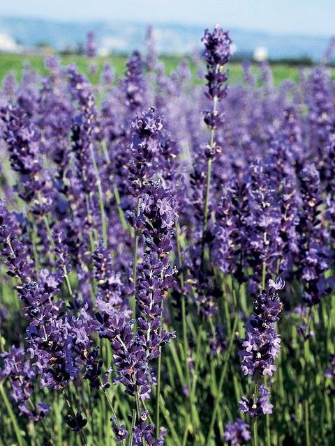 Lavender, Provence Blue