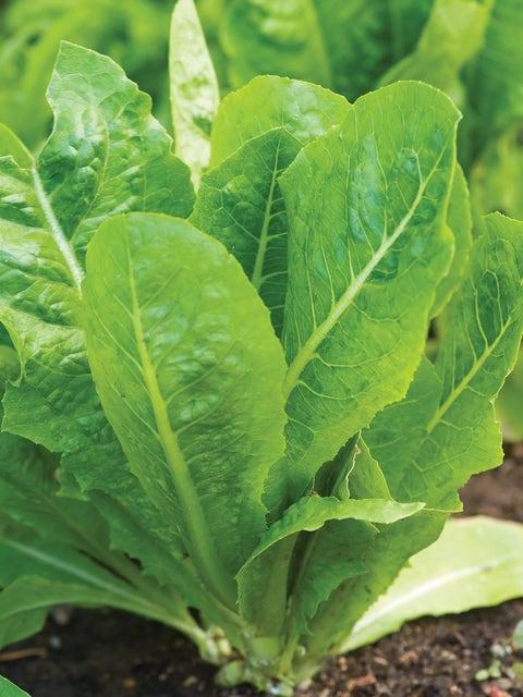 Lettuce, Vivian