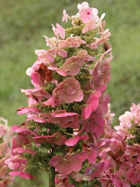 Hydrangea, Ruby Slippers