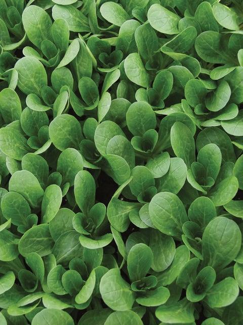 Corn Salad (Mache), Vit Organic