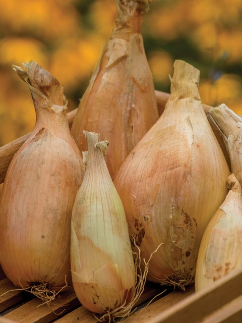 Onion, Kappa Hybrid