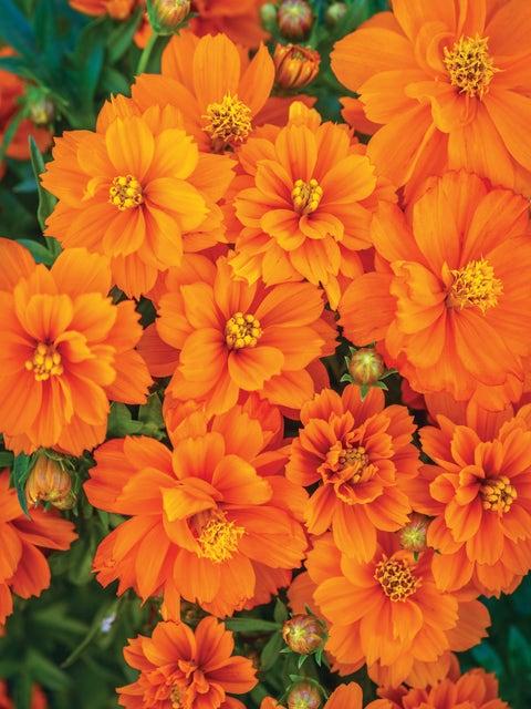 Cosmos, Mandarin Orange
