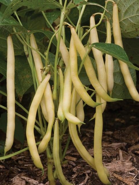 Bean, Bush, Mellow Yellow