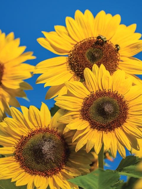 Sunflower, Treasure Mountain Hybrid