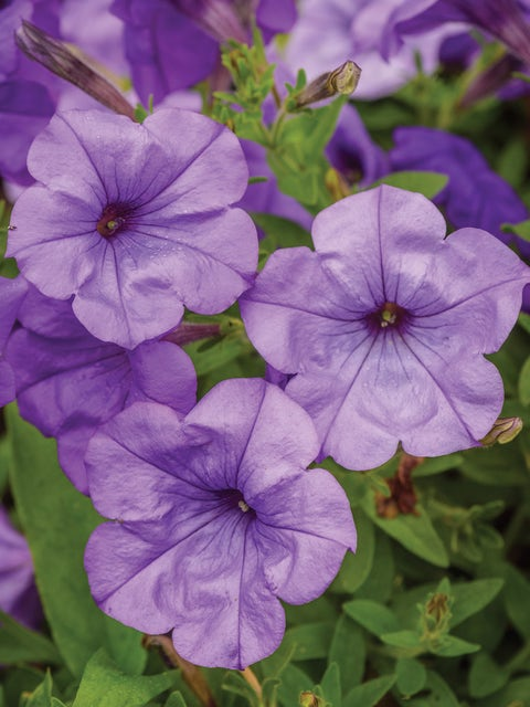 Petunia, Evening Scentsation Hybrid