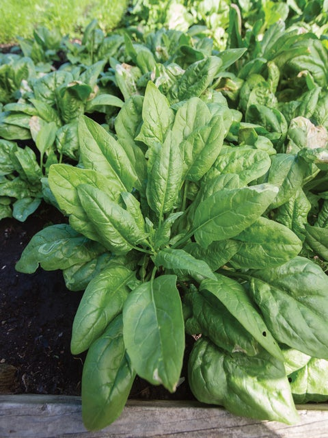 Spinach, Persius Hybrid