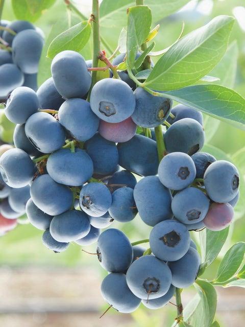 Blueberry, Prairie Berry
