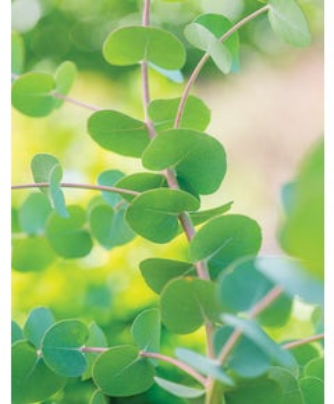 Herb, Eucalyptus gunii Silverdrop
