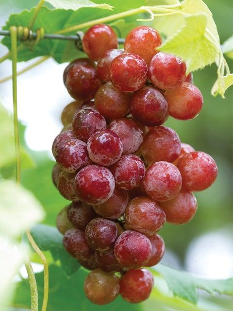 Grape, Somerset Seedless