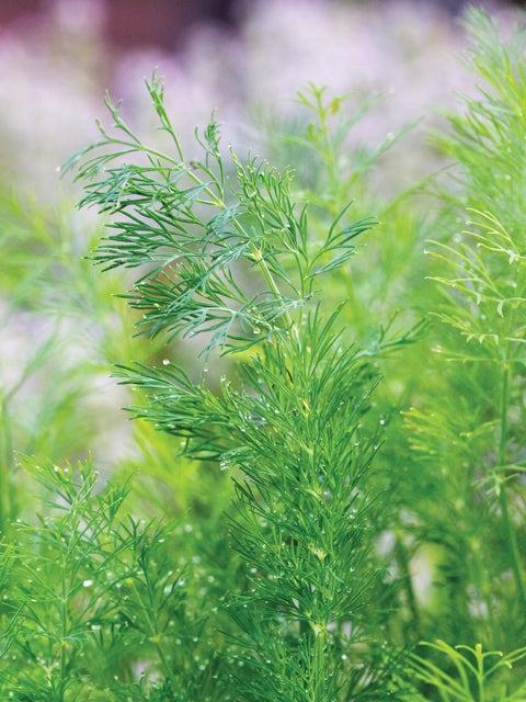 Dill, Hera Organic