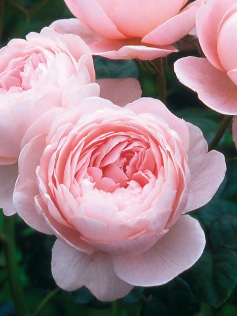 English Rose, Queen of Sweden