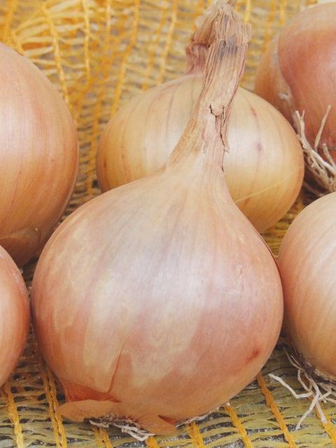 Onion, Sturon Organic