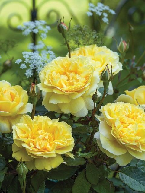 Rose, Poets Wife