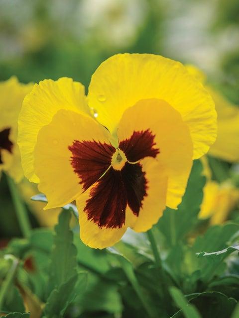 Pansy, Yellow Blotch