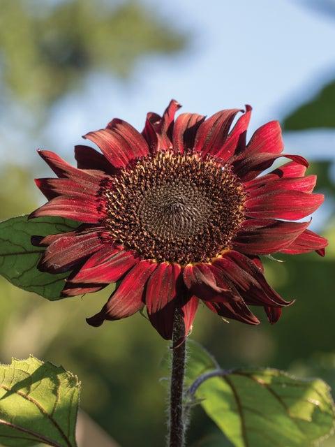 Sunflower, Red Wave Hybrid