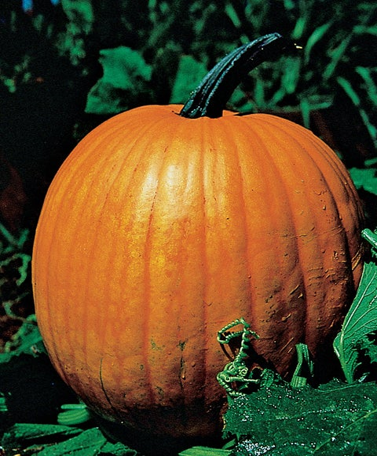 Pumpkin, Connecticut Field