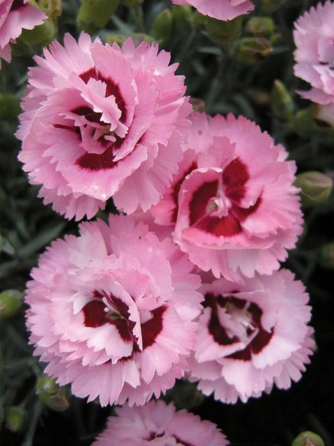 Dianthus, Raspberry Surprise