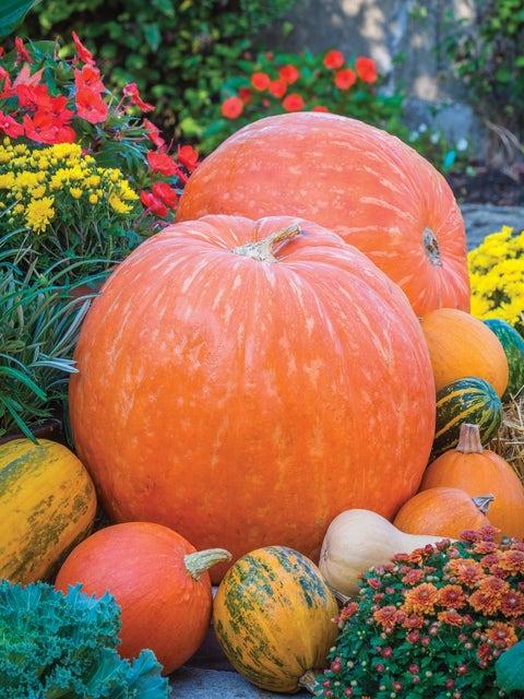 Pumpkin, Big Max
