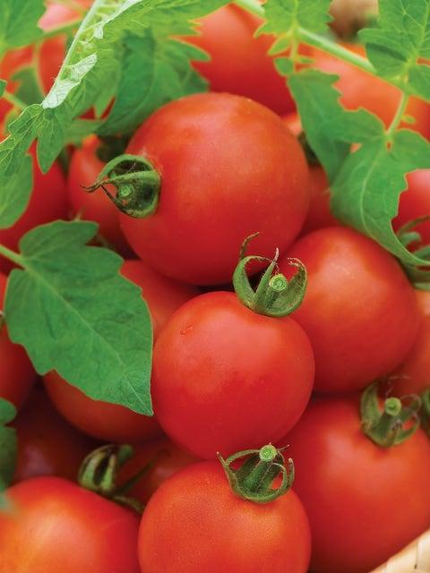 Tomato, Mountain Magic Hybrid