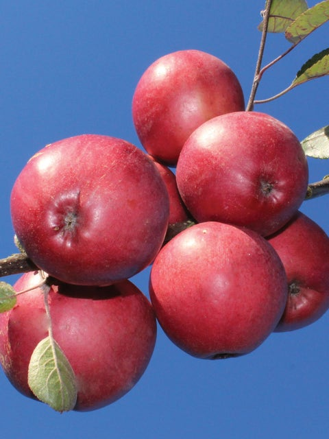 Apple, Redlove® Odysso