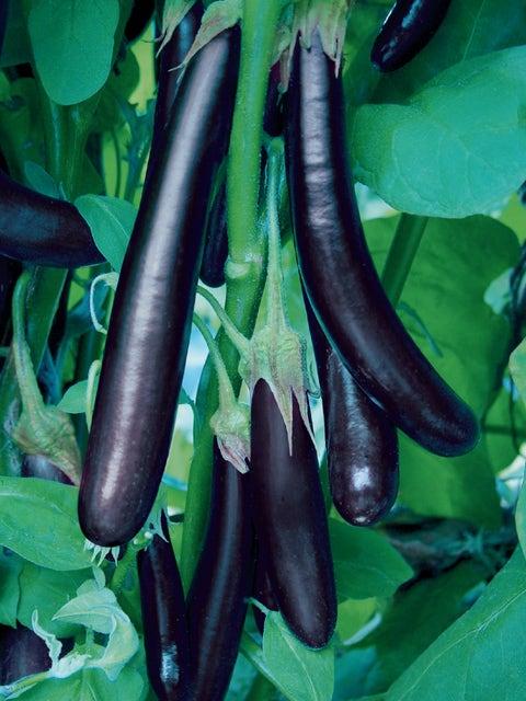 Eggplant, Long Purple Organic