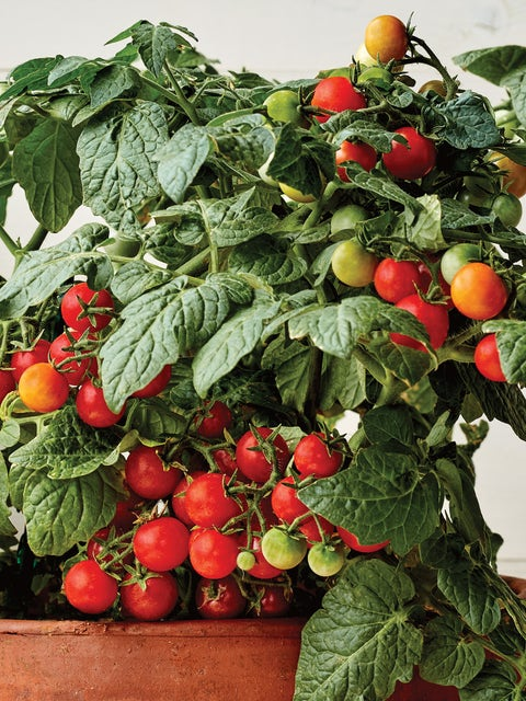 Tomato,Veranda Red Hybrid