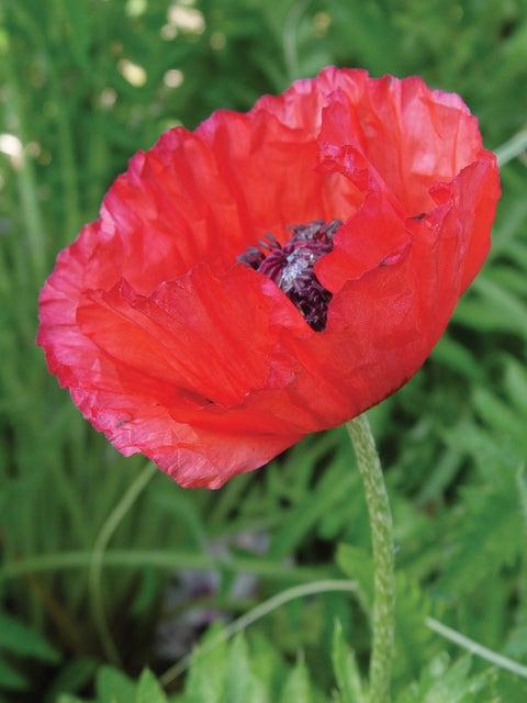 Poppy, Brilliant Red (Oriental)