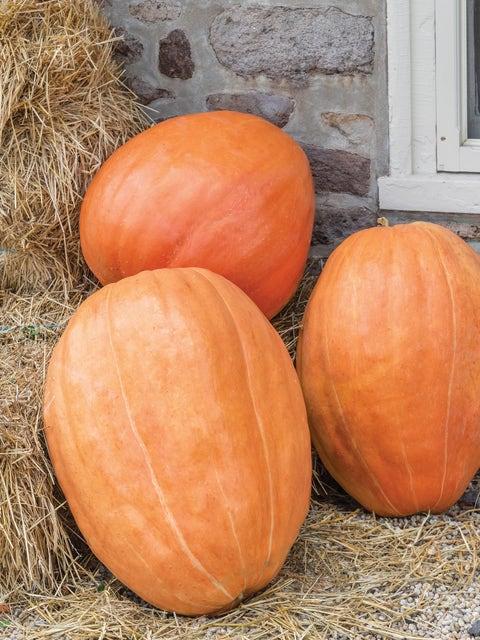 Pumpkin, First Prize Hybrid