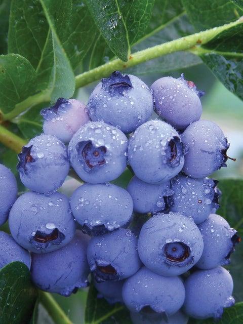 Blueberry, Patriot