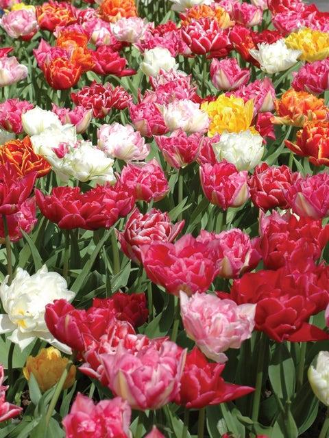 Tulip, Murillo Mix