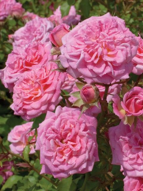 Rose, Sweet Drift