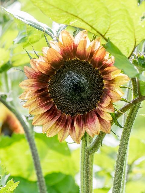 Sunflower, Procut Plum Hybrid