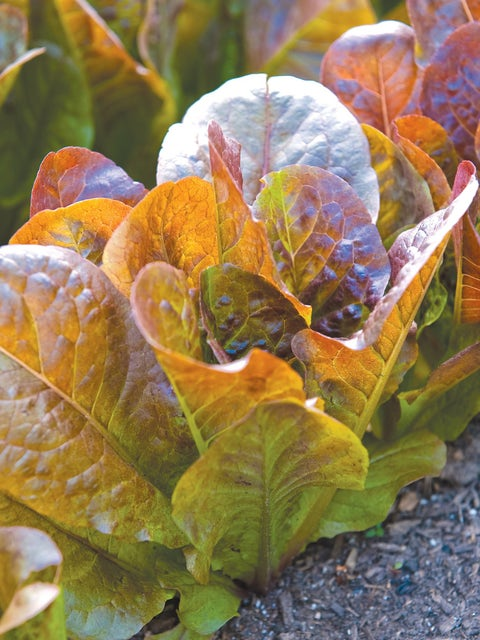 Lettuce, Four Seasons