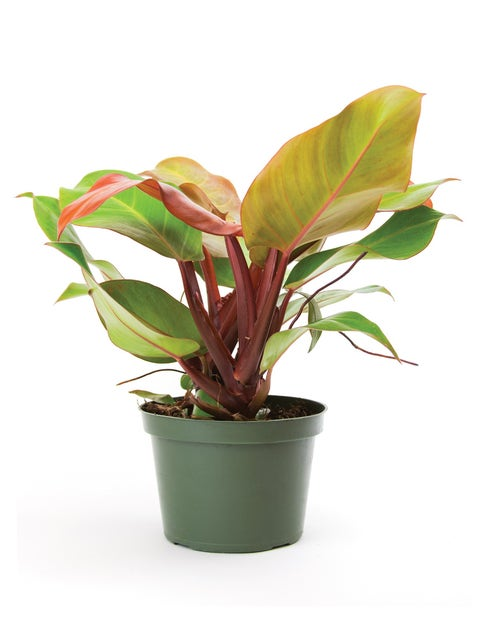 Philodendron, McColleys Finale