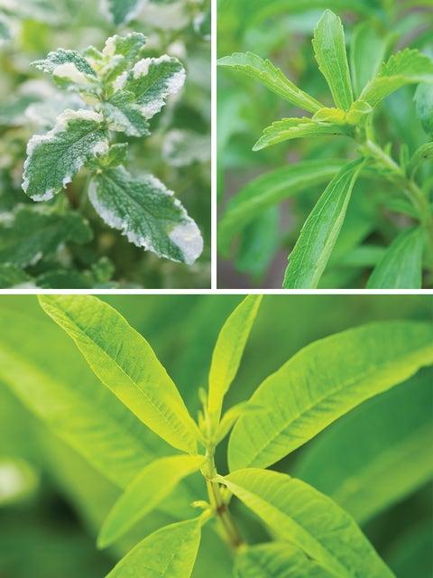 Herb Collection, Pina Colada