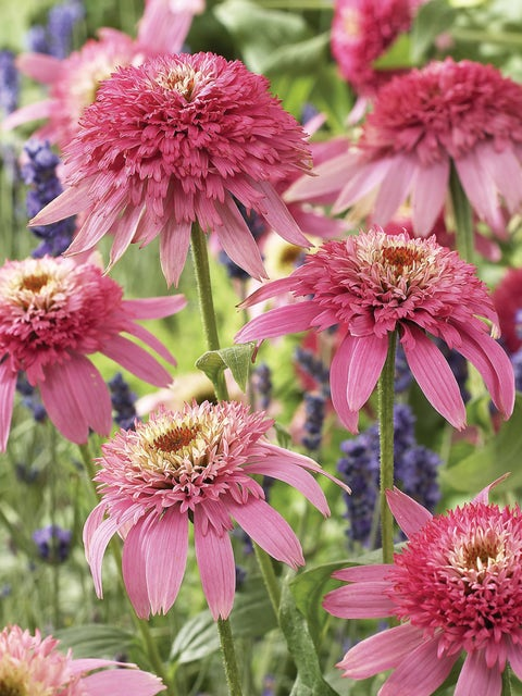Echinacea, Pink Double Delight