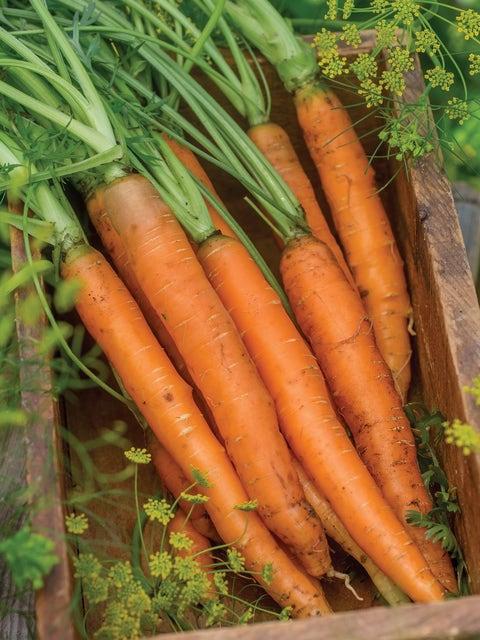 Carrot, Nantes Half Long