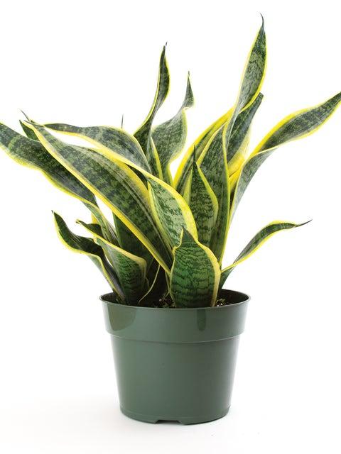 Sansevieria laurentii superba (Golden Snake Plant)