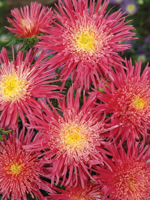 Aster, Salmon Red
