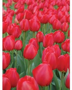Tulip, Oxford