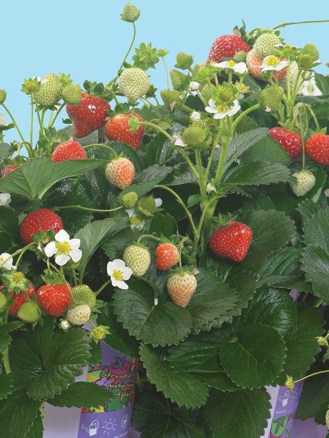 Strawberry, Delizz