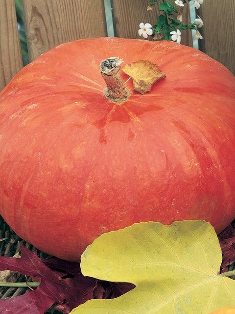 Pumpkin, Rouge Vif dEtampes