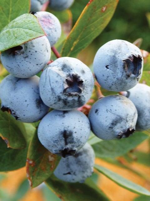 Blueberry, Titan