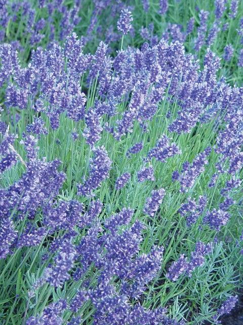 Lavender, English
