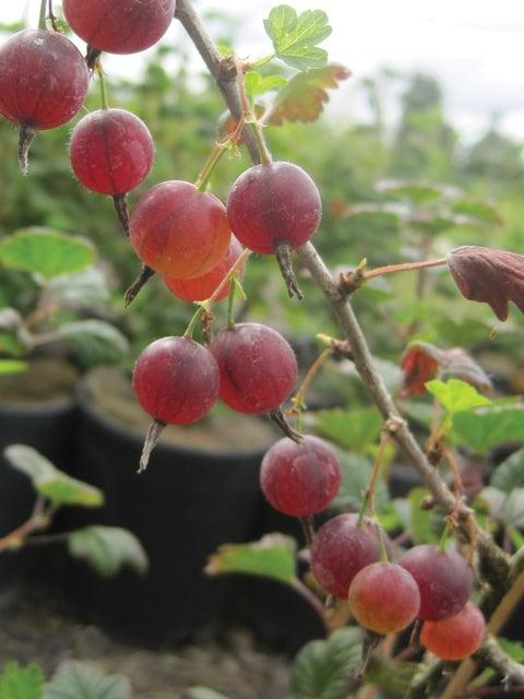 Gooseberry, Hinnomaki Red