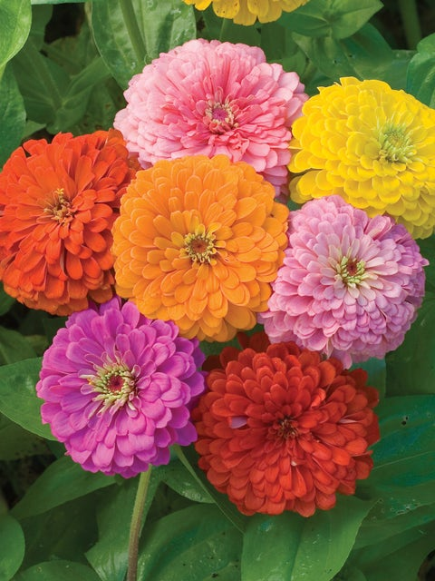 Zinnia, Giant Flowered Mixed Colors